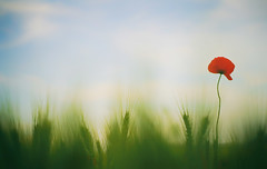 one (photoksenia) Tags: floral flower poppy summer summertime