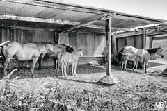 les poulains NKAEP LM8+28 1001391 (mich53 - thank you for your comments and 4M view) Tags: poulains campaign campagne campaña monochrome bw blackwhite mantois îledefrance france leicam8 m8 elmaritm28mmf28asph télémètre telémetro rangefinder 2015