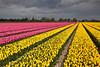 Stormy Tulips (hapulcu) Tags: northholland paisbajos paysbas holland hollande nederland netherlands olanda primavera printemps spring tulipen tulipes tulips холандија