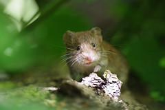 Sunlit Snout! (Hugobian) Tags: mammal small tiny bank vole nature wildlife fauna animal lackford lakes swt pentax k1 macro