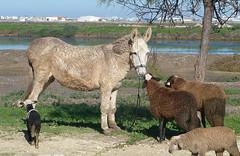SALUDO POLLINO Y OVEJAS (CARLOS CALAMAR) Tags: saludo burro pollino borrico ovejas salina cadiz andalucia greeting animals animales