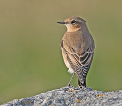 Wheatear (drbut) Tags: wheatear oenantheoenanthe turdidae portlandbill nature wildlife bird birds outdoor