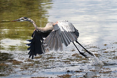 Great Blue Heron  Water Takeoff (dbadair) Tags: flight birds shore nature wildlife ft desoto st pete water gulf 7dm2 canon