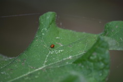 Sphaeroderma sp. (esta_ahi) Tags: morrocurt sphaeroderma chrysomelidae coleoptera insectos fauna fontrubí penedès barcelona spain españa испания