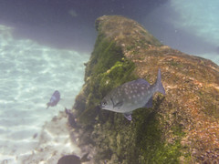 Grey Fish (Jerry Bowley) Tags: rivieramaya xelha ecopark fish snorkeling allinclusive