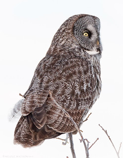 Great Gray Owl - Phantom of the North