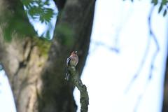 zięba / Common Chaffinch (natalia.bird_nerd) Tags: bird finch chaffinch commonchaffinch poland tree