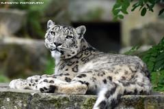 Snow leopard - Planckendael (Mandenno photography) Tags: dierenpark dierentuin dieren animal animals belgie belgium bigcat big cat planckendael zoo snow leopard snowleopard