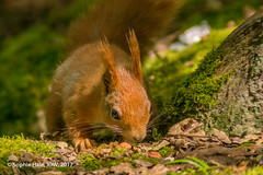 Red Squirrel IOW (SLHPhotography1990) Tags: 2017 bembridge brading marshes may nikon sophs red squirrels isle wight woods woodland british english england