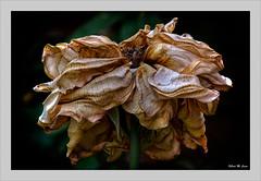 Recuerdos de mejores tiempos (Jose Manuel Cano) Tags: flor flower planta nikond5100 hoja