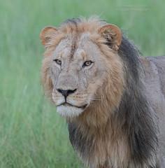 Lion - Panthera leo (rosebudl1959) Tags: lion male botswana 2017 kwaiconcession