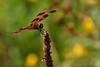 Halloween Pennant 1 (mjcarsonphoto) Tags: sandyridge halloweenpennant dragonfly