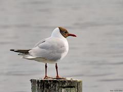 Black-headed Gull (Corine Bliek) Tags: bird birds vogel vogels nature natuur lake meer water larusridibundus