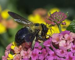 Bee_SAF8715-1 (sara97) Tags: bee flower floweringplant insect missouri nature outdoors photobysaraannefinke pollinator saintlouis towergrovepark towergrovepark2017 urbanpark