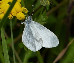 Wood White (gailhampshire) Tags: wood white