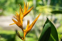 Four blooms (pbradyinct) Tags: lautoka blossom flower orange flowersplants bloom yellow fiji southpacific