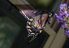 Washcloth, please (Mildred Alpern) Tags: blackswallowtail butterfly butterflybush pollen outdoors buddleia