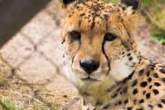 Zoo Pairi Daiza (quinquinval) Tags: pairidaiza félin guépard