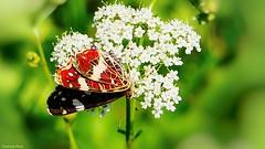 Butterfly - 3370 (YᗩSᗰIᘉᗴ HᗴᘉS +7 000 000 thx❀) Tags: butterfly papillon flower macro fauna faune hensyasmine 7dwf panasonicdmcgx8 panasonic