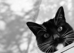 Something really is watching me from above... It's just more evil then angelic!! :-o (Captions by Nica... (Fieger Photography)) Tags: toby cat catmoments catportrait catseyes pet portrait eyes monochrome blackandwhite quebec canada outdoor