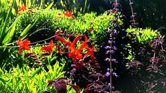 New York Botanical Garden XXXVI (joeclin) Tags: northamerica america unitedstates usa newyork ny belmont bronx newyorkbotanicalgarden nybg outdoor color irwinperennialgarden flowers appleiphone7 iphone iphoneography garden orange purple green