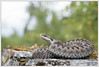 Vipera berus (Thor Hakonsen) Tags: viperaberus euroepanadder adder viper vipera viperidae snake hoggorm huggorm reptile reptil akerhus norge