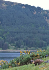 Pine Marten at dusk, Scottish Highlands (KHR Images) Tags: pine marten pinemarten martesmartes sweetmarten baummarten pineten wild carnivorous mammal mustelid mustelidae scottish highlands mountains western scotland nature wildlife dusk nikon d500 kevinrobson khrimages