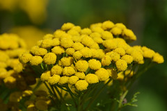 Tanacetum vulgare (Tansy) flowers (sianmatthews25) Tags: tanacetumvulgare tansy greshammarsh sk5737
