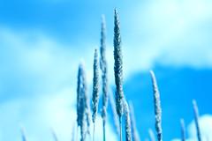 Light Blue (Graham'M) Tags: blue sky lightblue challenge grass plant nature fineart