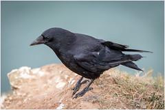 IMG_2830 (Derek.S) Tags: crow bempton england unitedkingdom gb