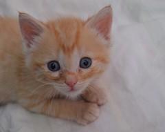 16) love -Rachel (HappyLenss) Tags: orange nikond3200 nikon day15 photographychallenge photochallenge love orangecat orangekitten cute cutecat cutekitten cat kitten