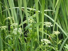 P1020508-TULE & WILD FLOWERS (barbara.burnell) Tags: save earth green foliage
