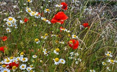 The bold and the beautiful (Heathermary44) Tags: wildflowers poppies daisies grass nature beautiful summer