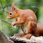 Red Squig - Scotland thumbnail