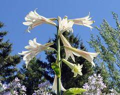REFORD GARDENS   |    GIANT HIMALAYAN LILY | CARDIOCRINUM GIGANTEUM   |   LIS GEANT |  REFORD GARDENS  |      LES JARDINS DE METIS  |  METIS   |  GASPESIE  |  QUEBEC  |  CANADA (J.P. Gosselin) Tags: reford gardens | himalayan giant lily cardiocrinum lis geant les jardins de metis gaspesie quebec canada canon7dmarkii canon 7dmarkii 7d markii mark ii canoneosrebelt2i canoneos7d canon7d eos7d canoneos eos rebel t2i ph:camera=canon giganteum flowers 🌺 flower superb