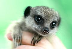 Baby Meerkat - hand held (Wilamoyo) Tags: meerkat animal mammal face furry cute green hair funny small tiny creature nature little hand held eyes macro