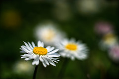 Only the lonely (emregraphy) Tags: daisy zeiss loxia250 nature flower closup white yellow travel