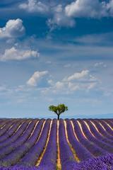 Purple Horizon (James Whitlock Photography) Tags: europe france provence valensole lavender field lone tree blue sky purple colourful cloud perfect rows shrub bush lines nikon d810 lee filters gitzo