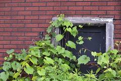 Growth ~ HWW (shireye) Tags: hamilton on lynden insulbrick insulb insulbricksiding old hww happywindowwednesday window