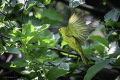 Yellow Warbler (halladaybill) Tags: mammothlakes mammothtrip twinlakes yellowwarbler california monocounty nikond500 nikkor200500zoom seaandsageaudubonsociety
