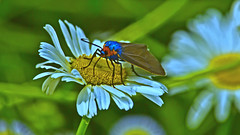 Virginia Ctenucha Moth (Bob's Digital Eye) Tags: blue bobsdigitaleye canonefs55250mmf456isstm depthoffield insect moth orange t3i virginiactenuchamoth flickr flicker macro garden