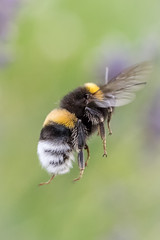 Flugstudie (w.lichtmagie) Tags: biene makro bee insekt flug fly fliegend flying canonefs60mm macro grün green lavendel lavender sommer ngc platinumheartaward