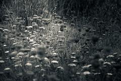 wild flowers (p_v a l d i v i e s o) Tags: 24105mm 5d3 adobelightroom canon5d canon5dmk3 canonef24105mmf4lisusm canoneos5dmarkiii ef24105mmf4 bw blackandwhite lr monochrome monocromatico monocromatique monocromático polarizingfilter shadow shallowdof splittoning wildflower sintra portugal