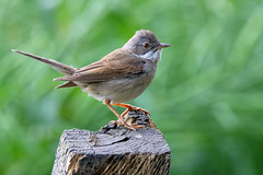 Whiethroat (robin denton) Tags: bird sylviacommunis warbler wildlife nature yorkshirewildlifetrust yorkshire