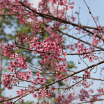 Thai Cherry Blossom thumbnail