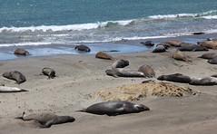 Getting a Suntan before a Swim and Fish Feast (Trail Trekker) Tags: elephantseals californiacentralcoast seals sansimeoncalifornia highway1