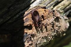 IMG_8347 - UNDETERMINED Millipede (Class Diplopoda) - Zephyr, Ontario, Canada (Wayne W G) Tags: northamerica canada ontario durham uxbridge zephyr taxonomy:kingdom=animalia animalia taxonomy:phylum=arthropoda arthropoda taxonomy:subphylum=myriapoda myriapoda taxonomy:class=diplopoda diplopoda millipedes двухпарнаногія двупарноногиемногоножки диплоподы tausendfüsser dubbelfotingar millepiedi millipeds millipede milpiés piolhosdecobra milípedes 倍足綱 diplópodos millepattes taxonomy:common=millipedes taxonomy:common=двухпарнаногія taxonomy:common=двупарноногиемногоножки taxonomy:common=диплоподы taxonomy:common=tausendfüsser taxonomy:common=dubbelfotingar taxonomy:common=millepiedi taxonomy:common=millipeds taxonomy:common=millipede taxonomy:common=milpiés taxonomy:common=piolhosdecobra taxonomy:common=milípedes taxonomy:common=倍足綱 taxonomy:common=diplópodos taxonomy:common=millepattes inaturalist:observation=7068812