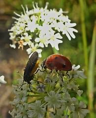 Beastiality (Bricheno) Tags: macro insect bug ladybug ladybird beetle beetles kilwinning irvine bricheno scotland scozia szkocja scoția schottland écosse escocia escòcia ayrshire