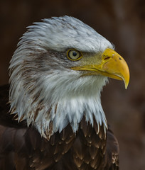 Portrait of an American Icon (ukmjk) Tags: american bald eagle liberty reptile raptor owl centre new forest nikon nikkor d750 70300 vr