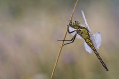 Grosser Blaupfeil (HelmiGloor) Tags: orthetrumcancellatum grosslibellen grosserblaupfeil odonata dragonfly insekten insecta segellibellen olympusmzuikodigitaled60mm olympusomdem1mkii